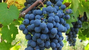 DORB , Ribera Duero, Aranda , wine tasting , wineries , traditional , tempranillo grapes